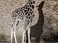 У жирафа пятнышки везде