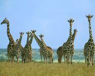 Везде жирафы повсюду