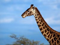 Голова и шея жирафа