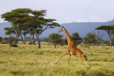 Бегущий куда-то жираф