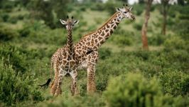 Жираф животное