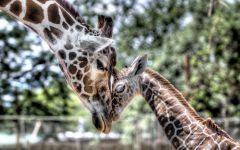 Самка жирафа и детеныш