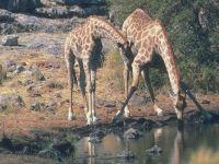 Как жираф пьет воду?