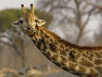 Насколько длинная у жирафа шея?