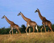 Жирафы (Giraffa camelopardalis)