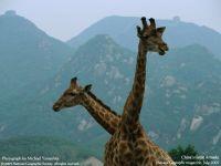 Жирафы с длинными шеями