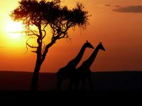 Прогуливающиеся на закате дня жирафы