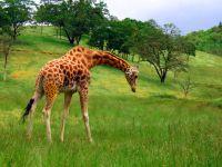 Гуляющий жираф