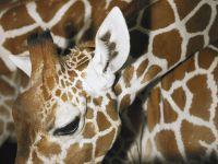 Жираф животные