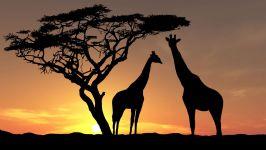 Жирафы в лучах заката