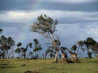 Жирафы на фоне грозового неба