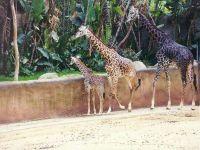 Семья жирафов в зоопарке