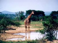 Стоящий у лужи жираф