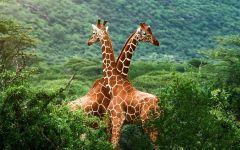 Жирафы спрятавшиеся в кустарнике