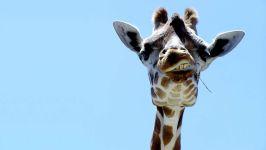Голова жирафа. Вид снизу