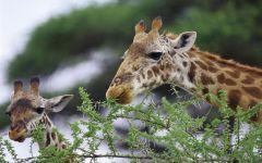 Голова жирафа в профиль