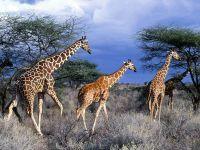 Жирафы. Кения (Африка)