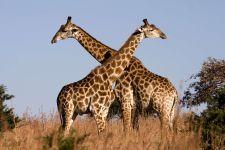 Жирафы, играющие в крестики