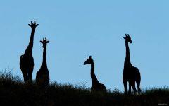Силуэты жирафов на фоне голубого неба