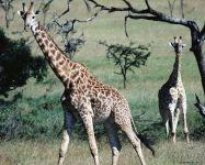 Жирафы на воле