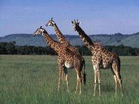 Жираф какой? Большой!