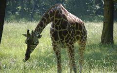 Короткий жираф