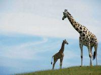 У жирафа пятна пятнышки по всему телу