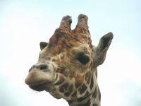 Жирафья голова