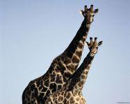 Летели два жирафа
