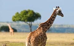 Жираф со спины