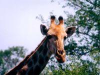 Голова жирафа на фоне листвы