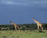 Бредущие по саванне жирафы