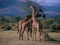 Куча мала из жирафов