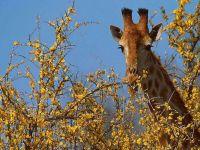 Жираф, выглядывающий из-за дерева