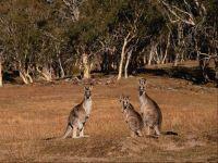 Рыжие кенгуру. Австралия