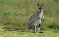 Самка серого кенгуру с детенышем в сумке