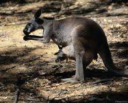 Самка рыжего кенгуру с детенышем в сумке
