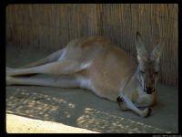 Большой рыжий кенгуру отдыхающий в тени