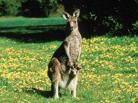 Самка кенгуру с детенышем на полянке