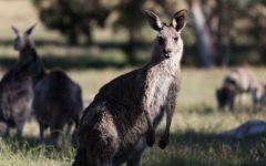 Пасущиеся кенгуру