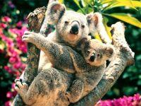 Медведь коала с детенышем (Phascolarctos cinereus)