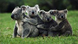 Дружная команда - медведи коалы