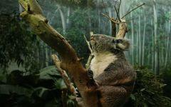 Коала - животное Австралии