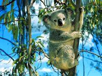 Что едят коалы? Листья эвкалипта