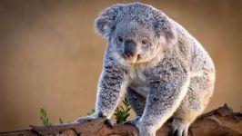 Сумчатая коала