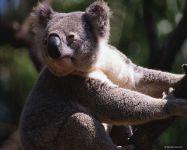 Где живут коалы? В Австралии!