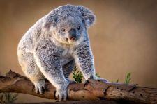 Сумчатый медведь коала, сидящий на дереве