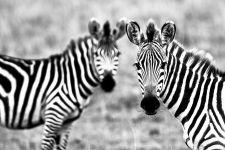 Позирующие фотографу зебры