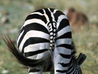 Какой хвост у зебры?