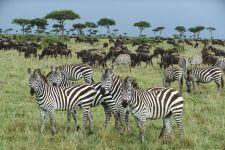 Бурчелловы зебры (Equus quagga) в Кении, Африка